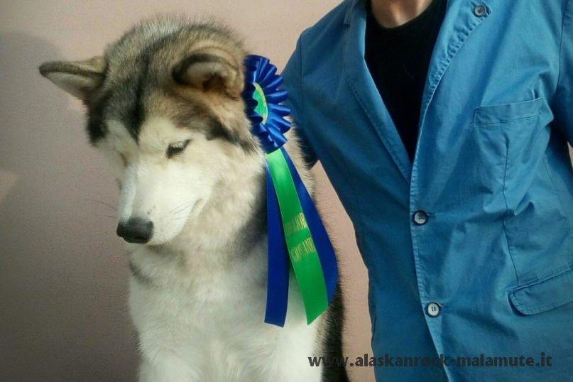 Busto Arsizio International dog show 1 novembre 2016